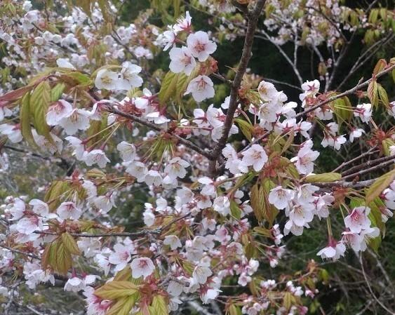太平山白櫻花盛開,成為春季限定美景。(圖由羅東林管處提供)