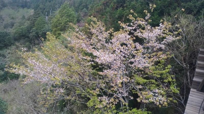 太平山白櫻花分布在海拔1800到2000公尺山區。(圖由羅東林管處提供)