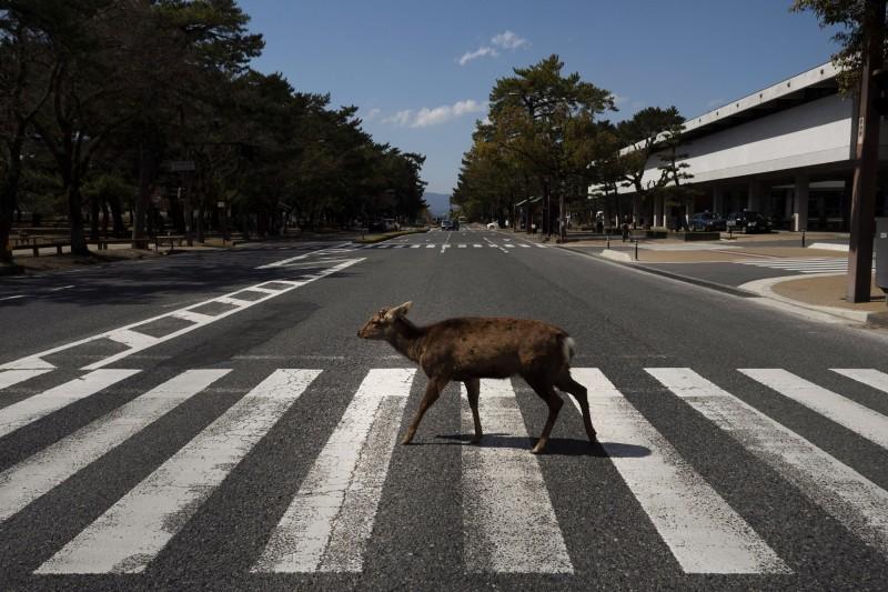 日本奈良已遊客大量減少,僅見鹿在奈良街頭閒晃。(美聯社)