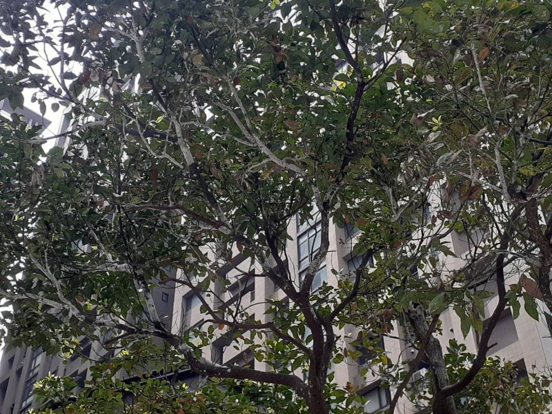 樹枝上彷彿被白色染劑噴灑,其實就是樟白介殼蟲盤據的關係。(圖由廖宜琨服務處提供)
