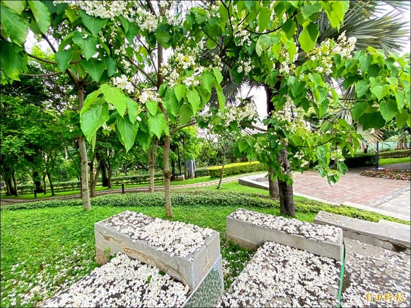 桃園市龍潭客家文化館生態公園的油桐花今年搶先綻放。(記者許倬勛攝)