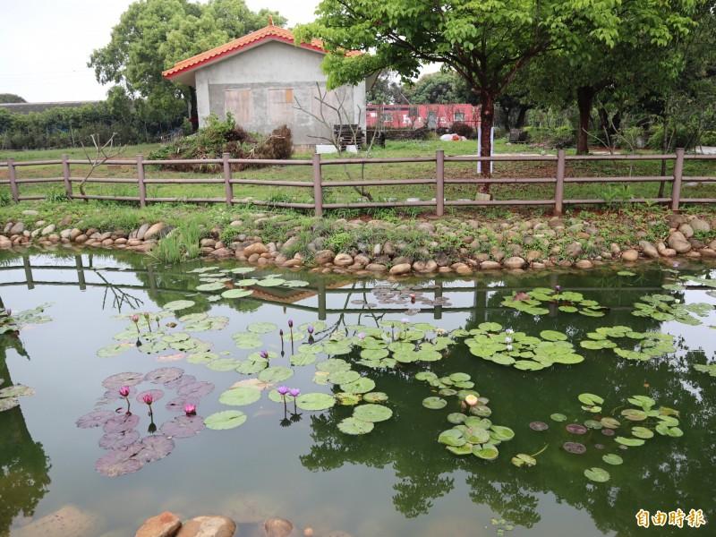 新和宮後方的生態池,目前池面上長滿蓮花,是賞蓮的好去處。(記者歐素美攝)