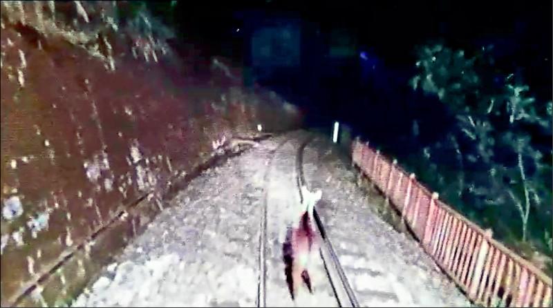 一隻長鬃山羊在阿里山林鐵祝山線逗留。(林鐵、嘉義林管處提供)