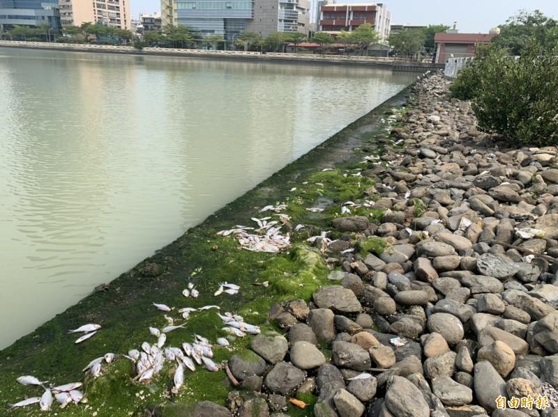 台南安平運河驚見魚屍群。(記者王姝琇攝)