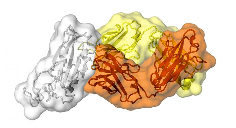美國斯克里普斯研究中心專家描繪的結構圖譜,揭示CR3022抗體結合兩個冠狀病毒上幾乎相同的位點,顯示此位點在該家族的冠狀病毒中具有重要功能,也是其罩門。(取自斯克里普斯研究中心官網)