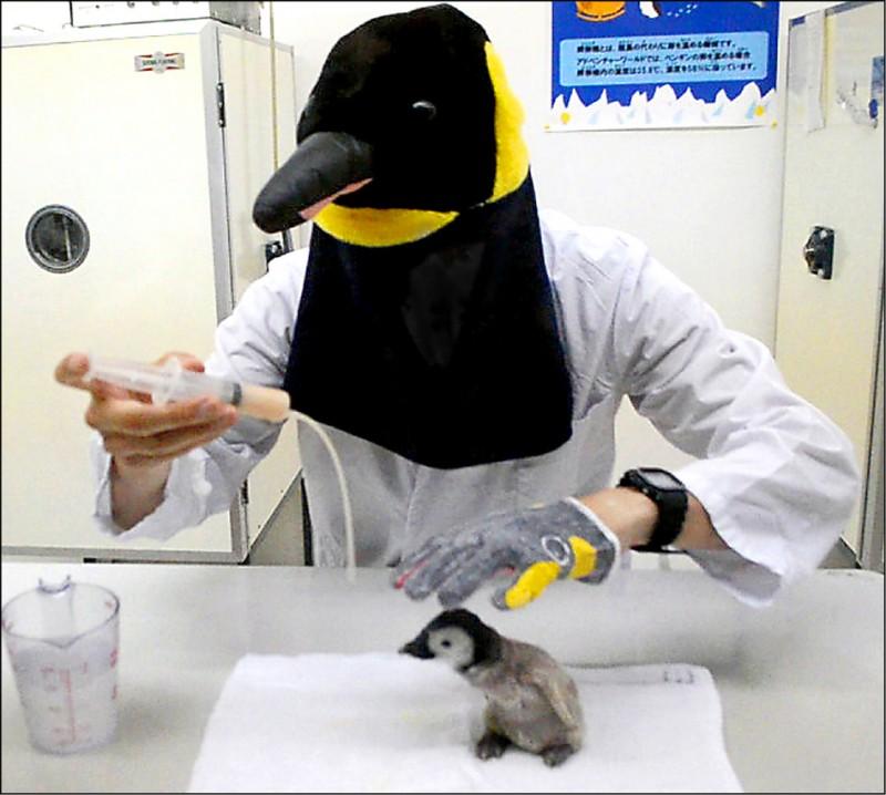 日本和歌山縣白濱的「冒險世界」水族館的工作人員穿上企鵝裝餵養皇帝企鵝雛鳥,盼能改變被人類養大的雛鳥日後重返鳥群後竟不交配的情況。(圖擷取自網路)