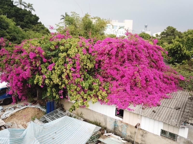 台中刑務所官舍群有棵樹齡80年九重葛,每逢花季盛放形成美麗花海。(圖:文化局提供)