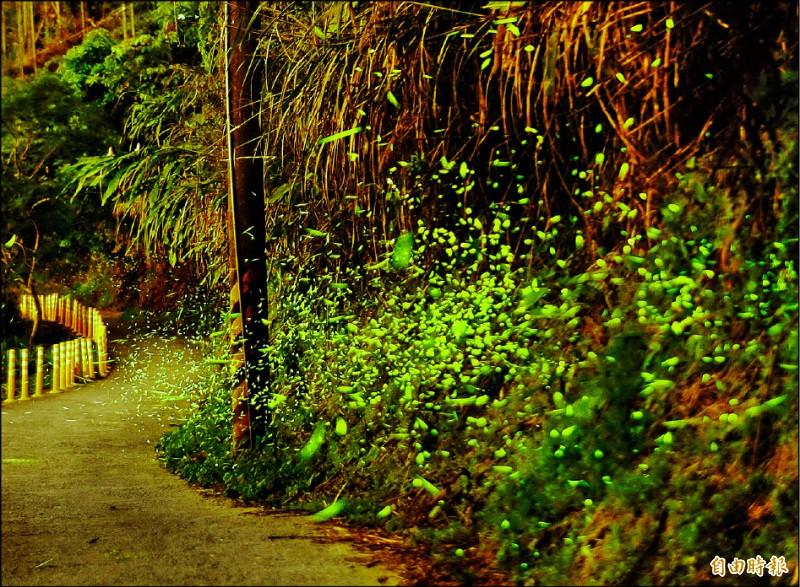 梅嶺的螢火蟲分佈在伍龍步道上,沿途都有。(資料照,記者吳俊鋒攝)