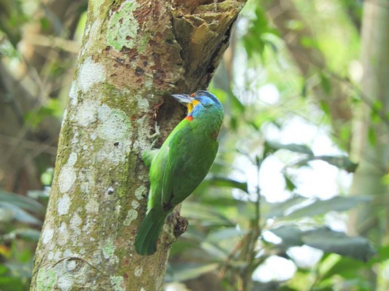 遊客造訪林內龍過脈步道,意外觀賞到五色鳥啄樹洞築巢景象。(高銘杉提供)