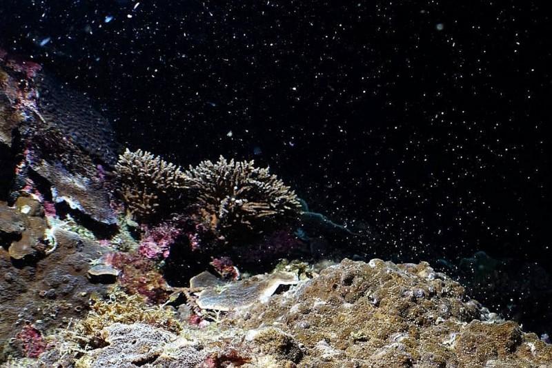 墾丁珊瑚連兩日產卵大噴發,海底充滿「粉紅泡泡」。(蔡永春提供,記者蔡宗憲翻攝)