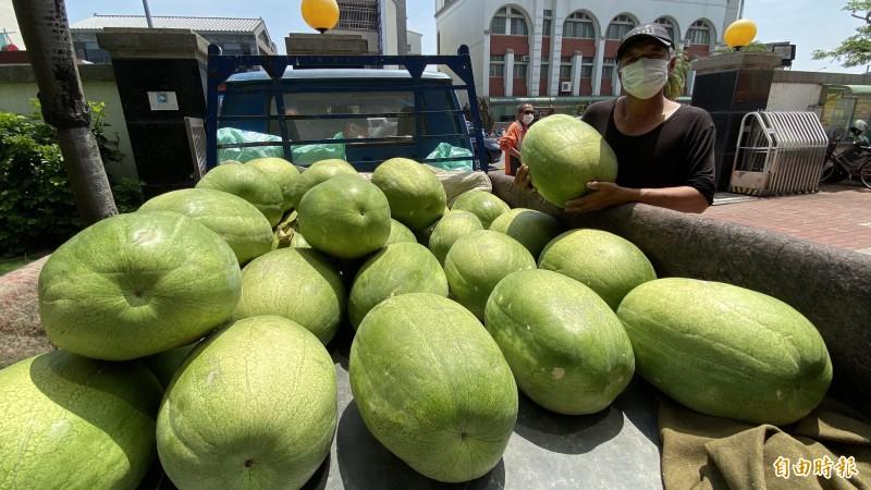 瓜農郭瑞棋展示自家栽種的學甲西瓜,品質讚又好吃。(記者楊金城攝)