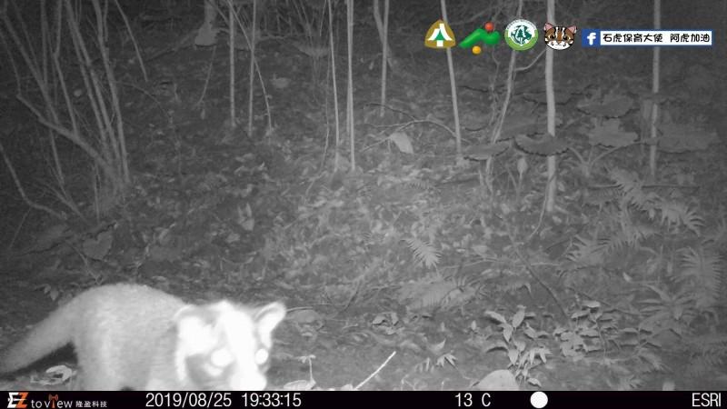 南投友善石虎生態給付,去年在中寮鄉農地設置自動相機拍到石虎,農友就獲得一萬元獎勵。(南投縣政府提供)
