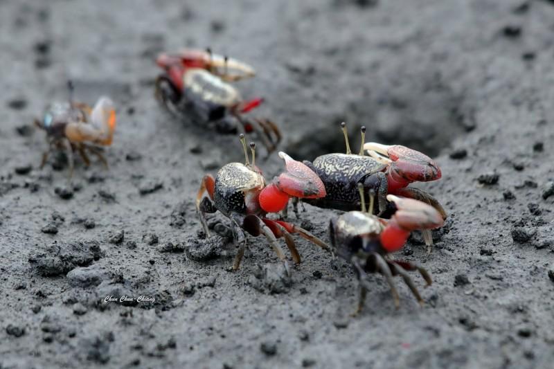 生態嬌客招潮蟹,竟也成為獵食對象。(陳俊強提供)