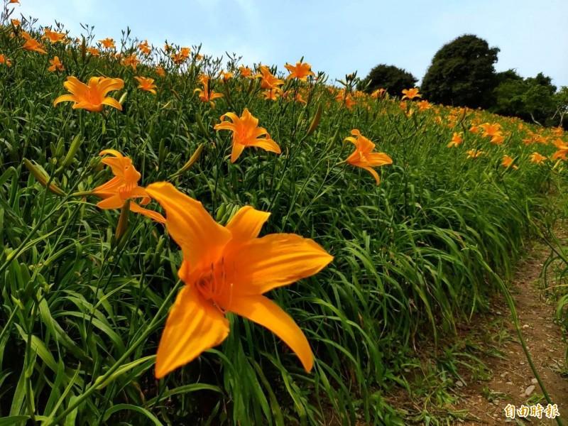 去年爆紅的彰化花壇虎山巖金針花開了。(記者劉曉欣攝)