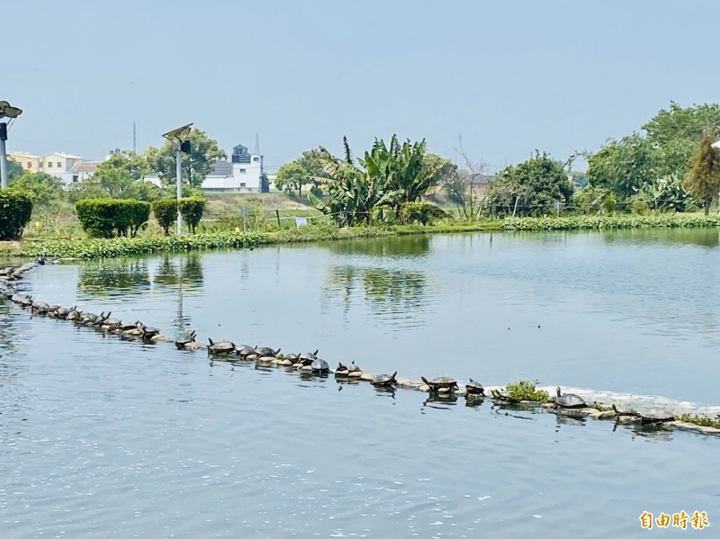 明華濕地的大水池烏龜排整列日光浴壯觀畫面。(記者蔡宗勳攝)