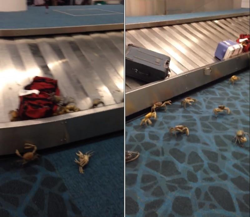 國外巴哈馬一名旅客在機場等帶行李時,在李輸送帶附近目睹一群活生生、巴掌大的螃蟹正在四處亂竄。他將影片PO網後引發熱議論,網友也笑稱「變成迴轉壽司店了!」(擷取自臉書)