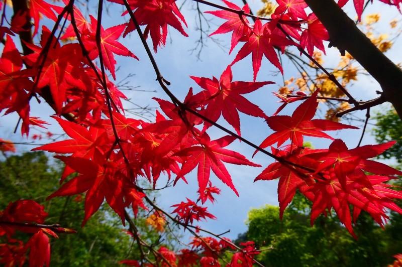 奧萬大的日本紅楓美得令人然心動,南投林管處表示,楓紅美景可持續到本月底。(南投林管處提供)