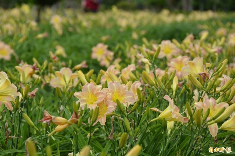 萱草花蓮1號粉佳人,開花期早,花期4至9月間,花瓣為粉紅色。(記者王峻祺攝)