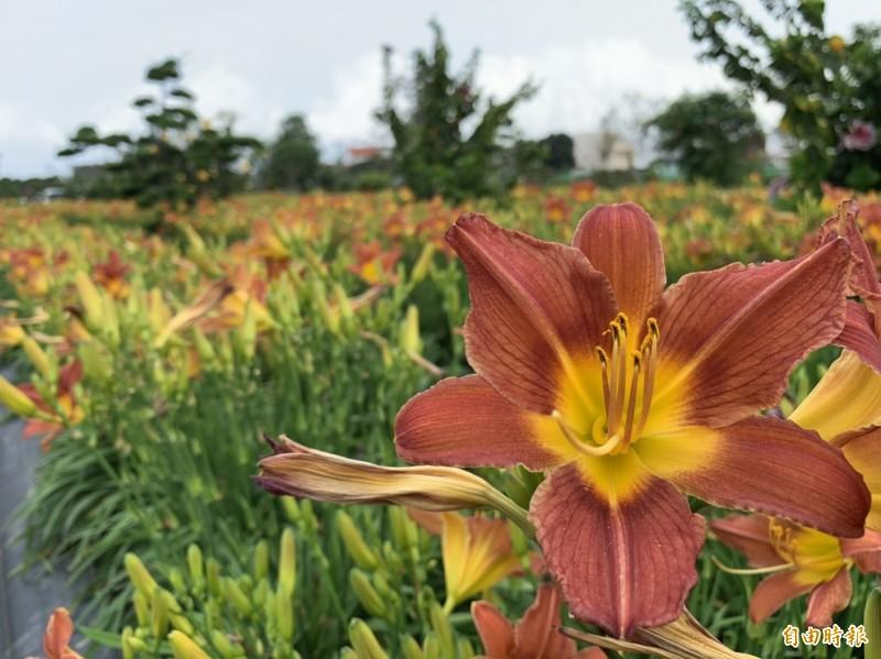 萱草花蓮4號俏佳人,植株生育旺盛,花瓣為紅色,外觀略呈三角形。 (記者王峻祺攝)