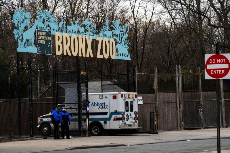 美國紐約布朗克斯動物園又新增4隻老虎、3隻獅子感染武漢肺炎。(路透)