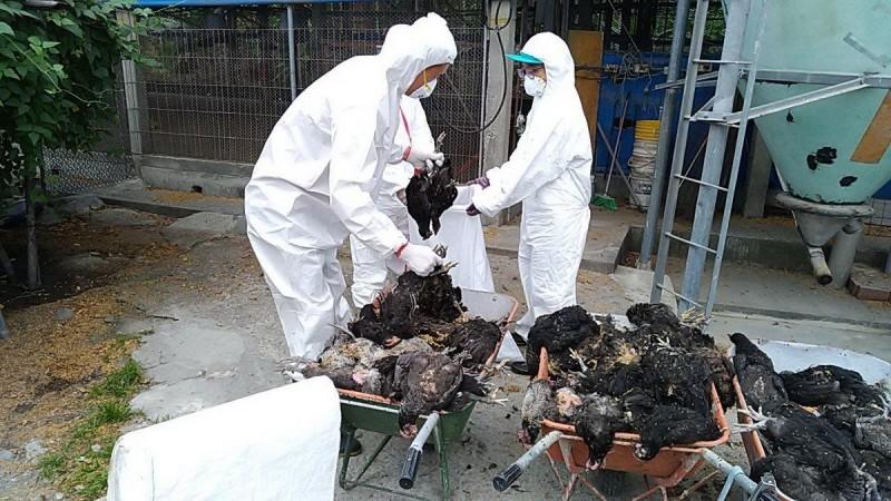 鹽埔鄉1土雞場確診感染禽流感。(屏東縣動物防疫所提供)