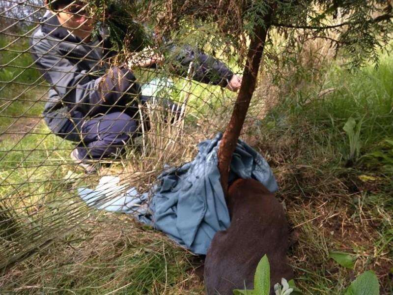 玉山國家公園塔塔加園區有山羌纏住樹木保護網,遊客中心人員到場先以被單蓋住山羌頭、眼,之後再剪除纏繞網線協助脫困。(玉管處提供)