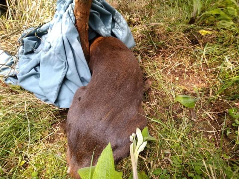 玉山國家公園塔塔加園區,一隻山羌不慎纏到樹木保護網動彈不得。(玉管處提供)