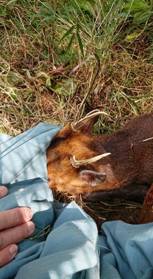 玉山國家公園塔塔加園區有山羌纏住樹木保護網,經工作人員安撫並剪除網線,才得以脫困。(玉管處提供)