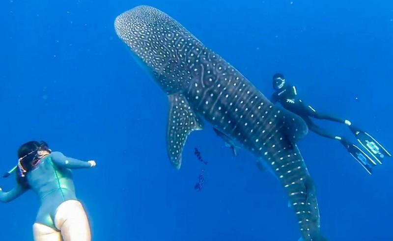 保育類溫柔鯨鯊驚喜現身墾丁。(潛旅邱瑞章提供,記者蔡宗憲翻攝)