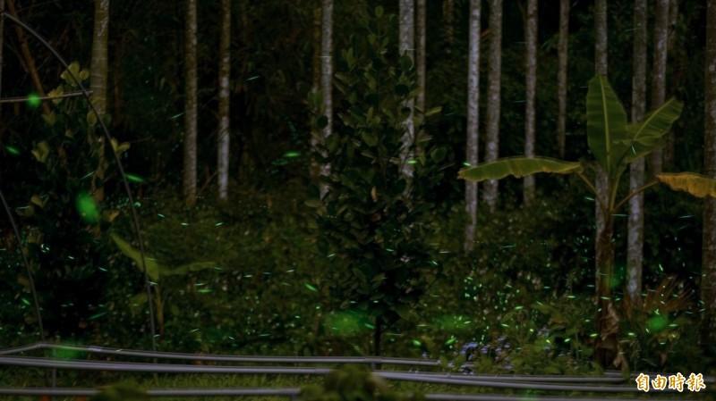 南投縣鹿谷鄉小半天休閒農業區不時可見成群螢火蟲翩翩飛舞、螢光閃閃的身影,是賞螢的好場所。(記者謝介裕攝)