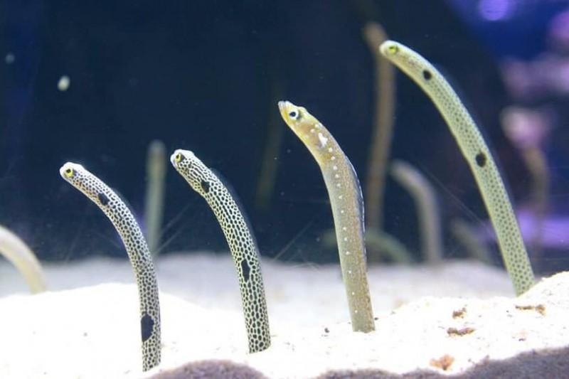 日本墨田水族館公告,5月初將舉辦為期3天的視訊活動,讓花園鰻回想起人類。(圖擷自Sumida.aquarium.official@Twitter)