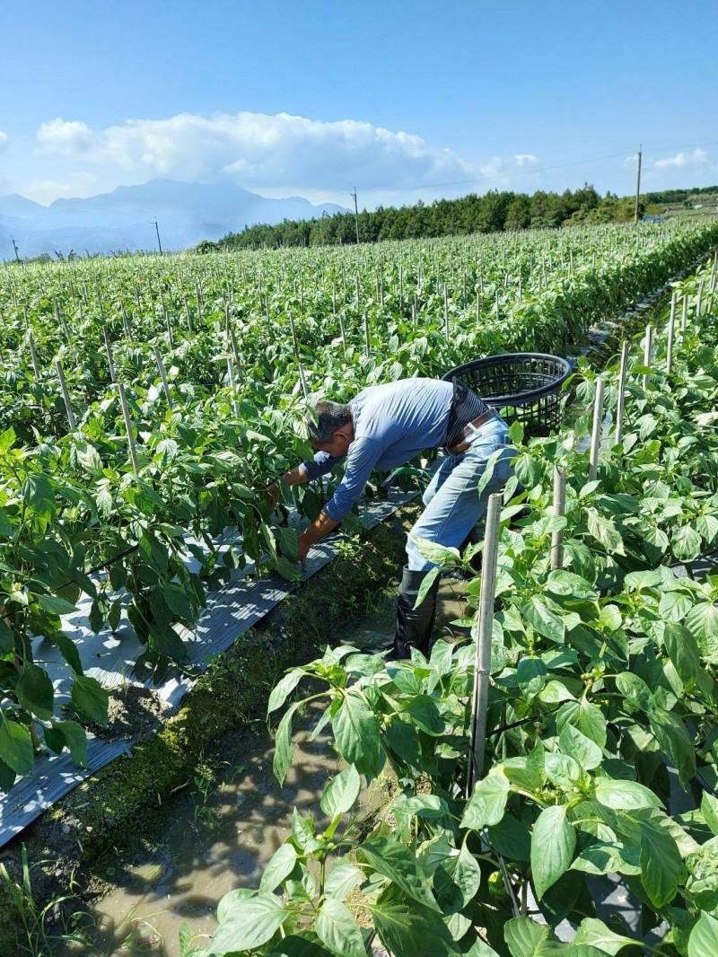 受疫情影響,在鹿野鄉種青椒的吳宗榮,幾天前開採,卻乏人問津。(記者黃明堂翻攝)