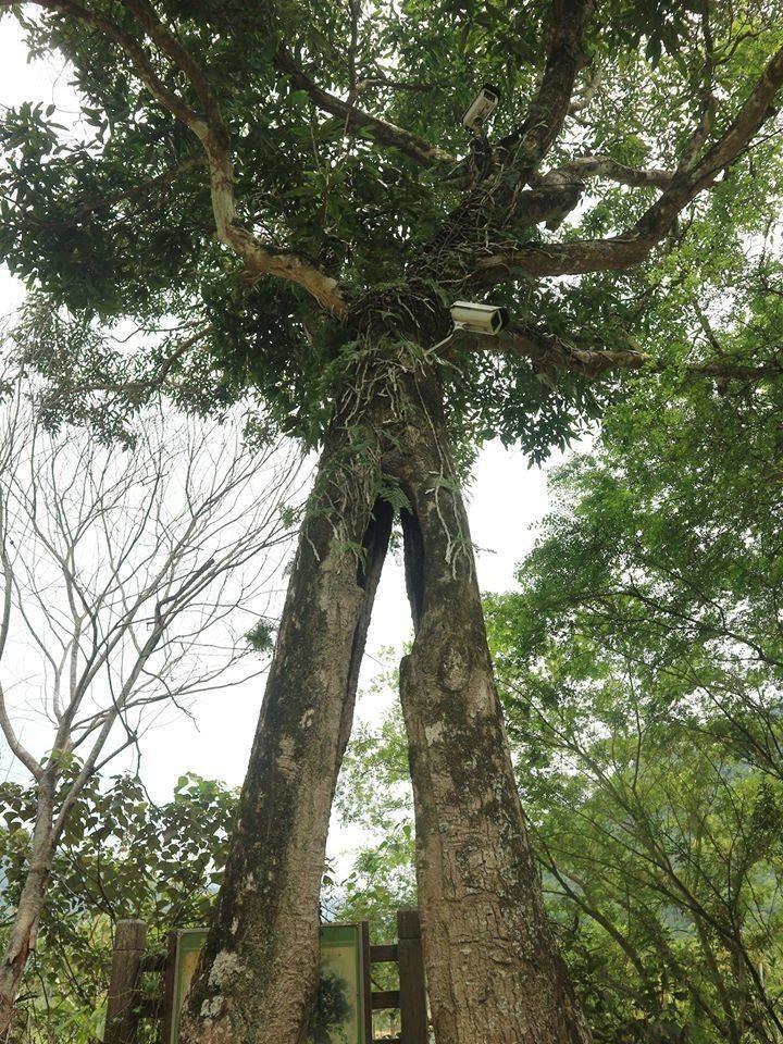 國姓鄉北港村打石文化園區內的高大芒果樹,因921大地震導致樹幹從中裂開,仍生樹盎然,宛如巨人張開雙腳昂然挺立,也像是會走路的樹。(潘樵提供)