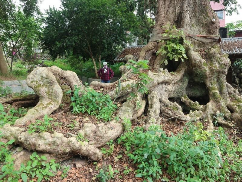 國姓鄉福龜村阿嬤洗衣墩旁的老茄苳,另有「救命樹」的美稱。(潘樵提供)