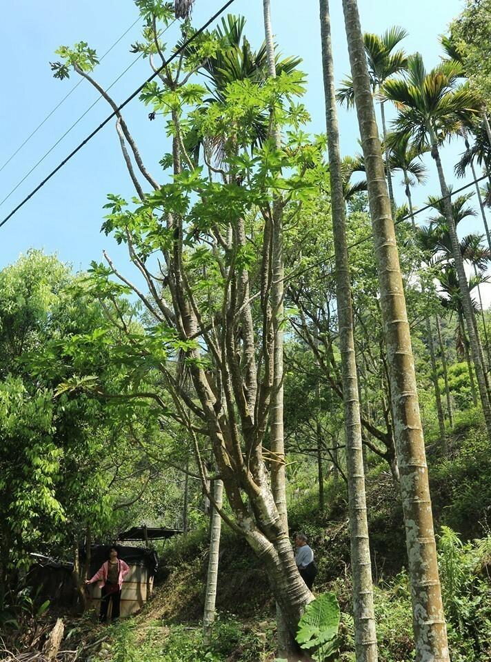 國姓鄉長豐村大茅坪的原生種木瓜樹,已經有50年左右的樹齡,還能結實纍纍。(潘樵提供)