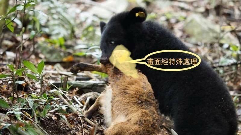 廣原小熊練習獵殺山羊。(取自台東林管處臉書)
