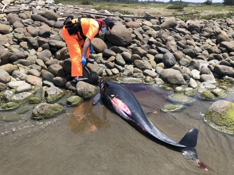 嘉義縣布袋鎮好美里海難發現小虎鯨擱淺死亡。(記者蔡宗勳翻攝)