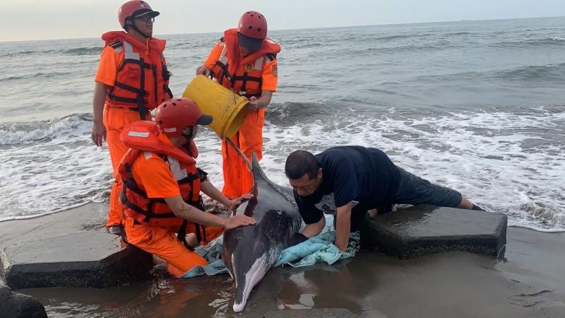 保育類「糙齒海豚」受傷擱淺大園海邊,海巡、動保人員到場救援,海巡人員持續以水桶為牠澆水保濕。(第八岸巡隊提供)