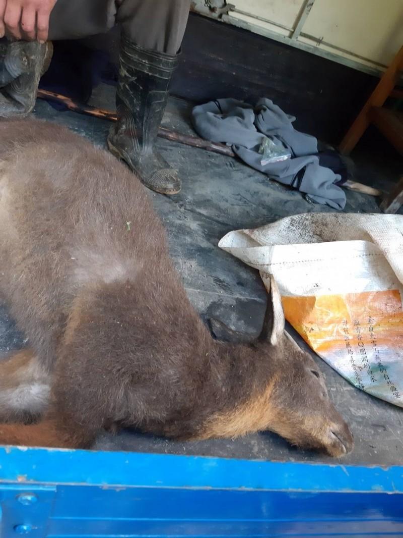 動保處查獲的保育類長鬃山羊屍體。(動保處提供)