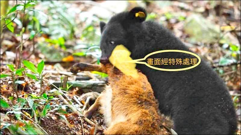 廣原小熊練習獵殺山羊。(台東林管處提供)