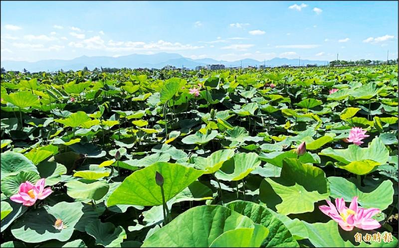 2020台南白河蓮花季登場,今年蓮田面積增至290公頃,蓮田在遠方關子嶺襯托下,畫面賞心悅目。(記者楊金城攝)