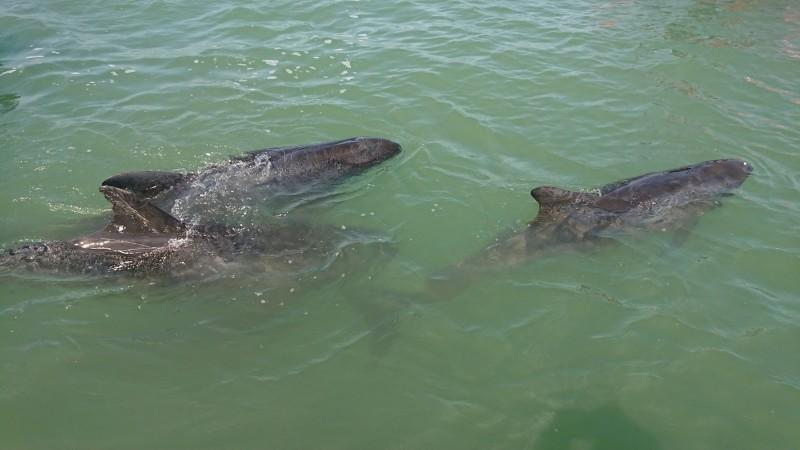 小虎鯨群逗留在嘉義縣布袋近海。(徐紹唐提供)