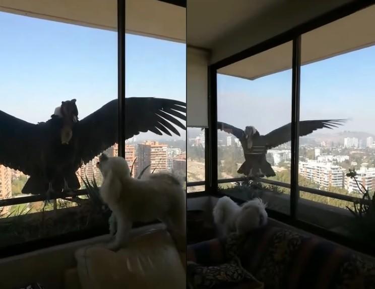 有住在高樓的民眾日前拍下罕見奇景,兩隻巨大的安地斯神鷹(Andean condor)降落在民眾的窗台上,也讓民眾家中飼養的貴賓犬亢奮得不停大叫。(擷取自Don Hockaday臉書)