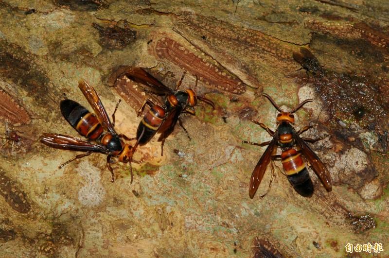 大虎頭蜂(Vespa mandarinia)體長可達6.35公分,原生於東南亞、中國及台灣。圖為台灣大虎頭蜂。(資料照)