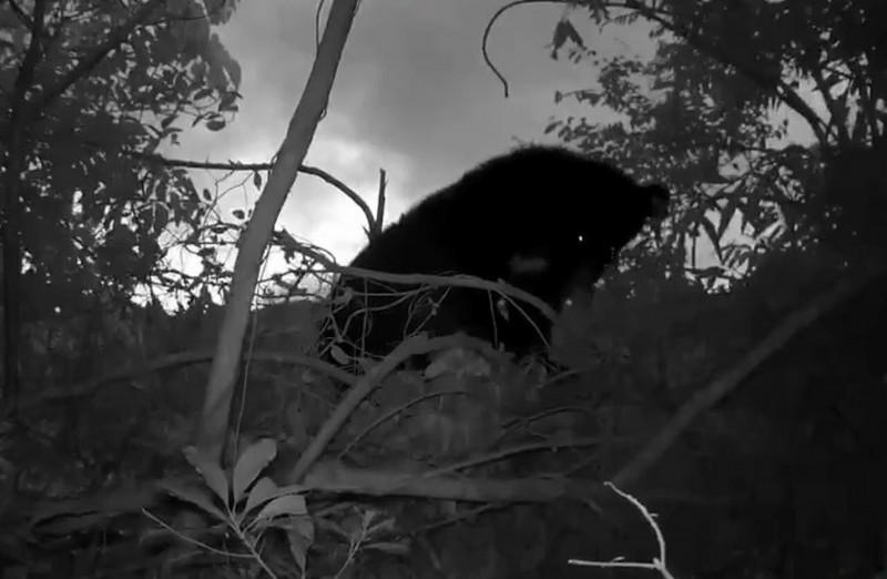廣原小熊Mulas自築樹窩首度曝光,新發現讓照養團隊開心不已。(記者陳賢義翻攝)