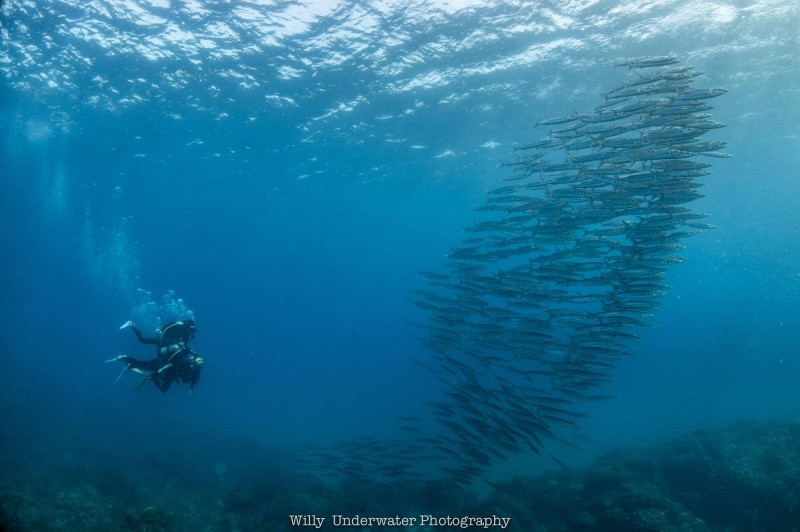 謝維也拍下如同台灣形狀的大眼梭魚群。(謝維&台灣潛水提供)