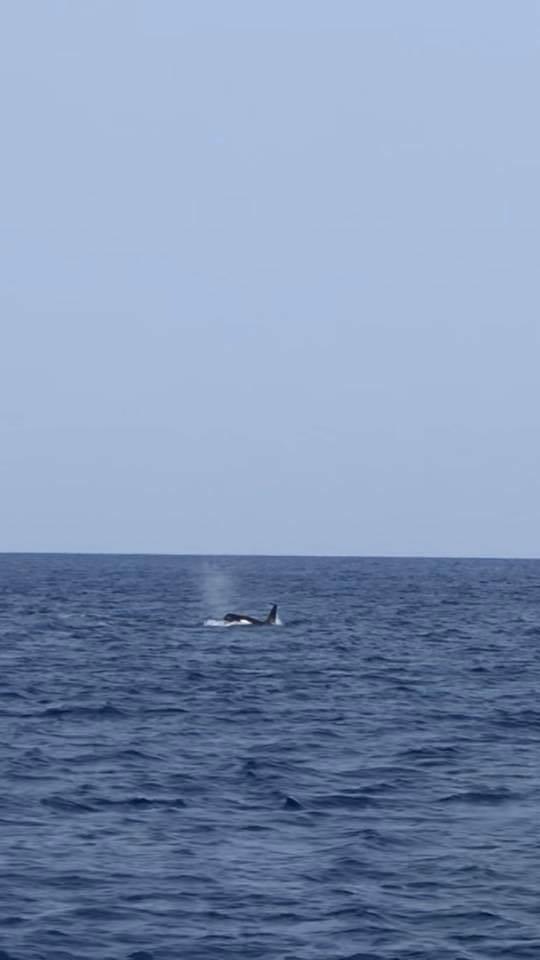 台灣潛水的船潛隊伍一個月內2度多次目擊鯨豚出水換氣、躍水,謝維研判為虎鯨,將是台灣西南海域首次有紀錄的虎鯨噴氣畫面。(謝維&台灣潛水提供)