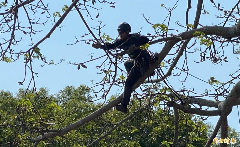 攀樹團隊在約三樓高的樹上工作,準備摘除末枝上的蒴果。(記者吳正庭攝)