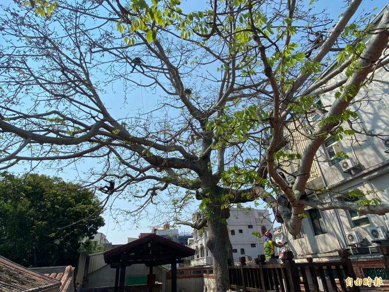 金門總兵署後方的木棉樹高約23.6公尺,冠幅約430平方公尺,工作人員在上面行走穿梭,相當驚險。(記者吳正庭攝)