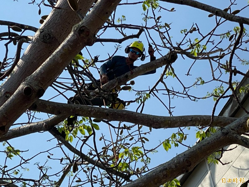 攀樹團隊全副武裝在木棉樹上進行摘除果實任務。(記者吳正庭攝)